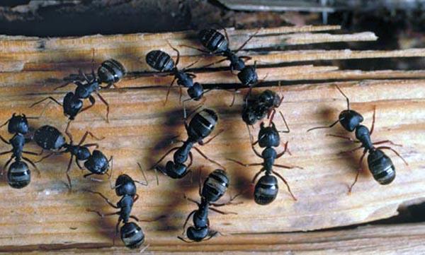 как избавиться от муравьев древоточцев пороков сердца