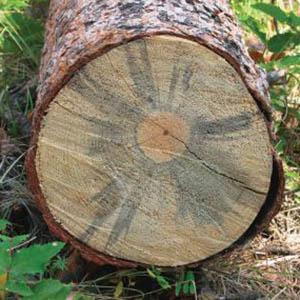Výsledek obrázku pro синь на дереве